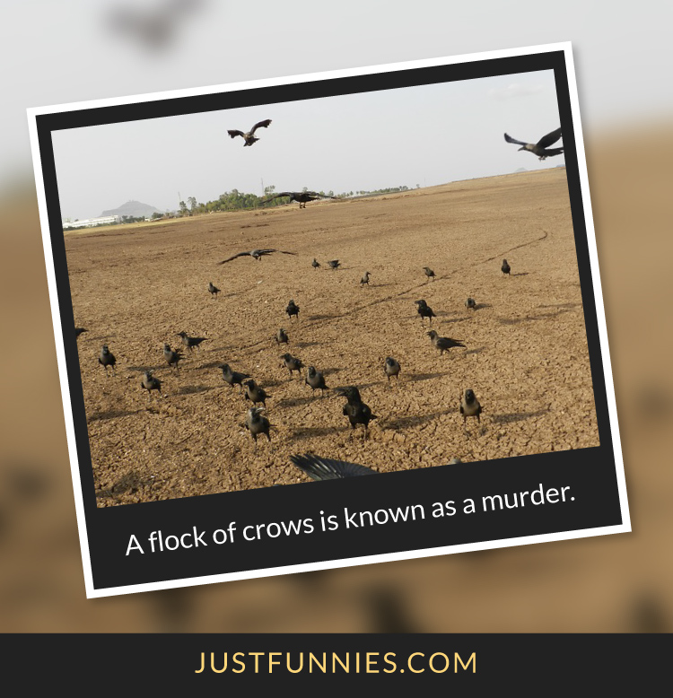 A flock of crows is known as a murder.